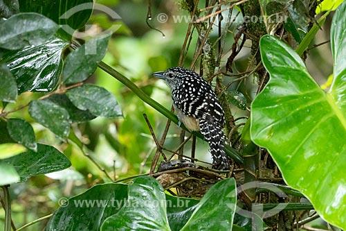 Detalhe de chocão-carijó (Hypoedaleus guttatus)  - Morretes - Paraná (PR) - Brasil