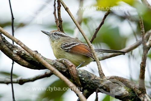 Detalhe de chorozinho-de-asa-vermelha (Herpsilochmus rufimarginatus)  - Morretes - Paraná (PR) - Brasil