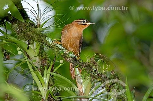 Detalhe de limpa-folha-coroado (Philydor atricapillus)  - Morretes - Paraná (PR) - Brasil