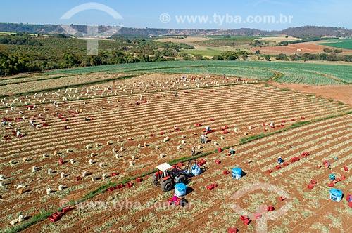 Foto feita com drone de colheita manual de cebola (Allium cepa)  - Monte Alto - São Paulo (SP) - Brasil