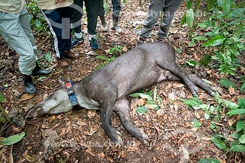 Anta (Tapirus terrestris) sedada para aplicação de colar GPS para monitoramento animal na Reserva Ecológica de Guapiaçu  - Cachoeiras de Macacu - Rio de Janeiro (RJ) - Brasil
