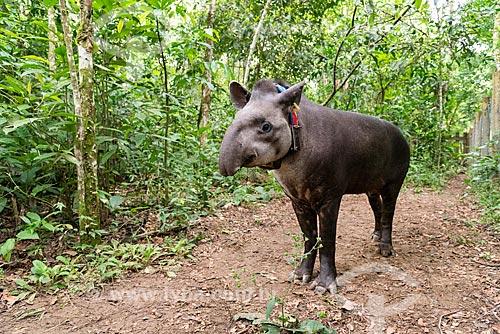 Anta (Tapirus terrestris) com colar GPS para monitoramento animal na Reserva Ecológica de Guapiaçu  - Cachoeiras de Macacu - Rio de Janeiro (RJ) - Brasil