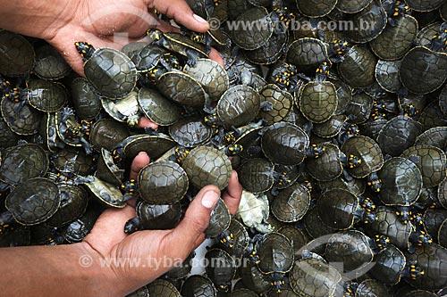 Detalhe de filhotes de tartarugas-da-Amazônia (Podocnemis expansa) no Projeto Pé-de-Pincha  - Amazonas (AM) - Brasil