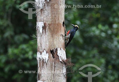 Detalhe de pica-pau-de-barriga-vermelha (Melanerpes cruentatus) na amazônia  - Amazonas (AM) - Brasil