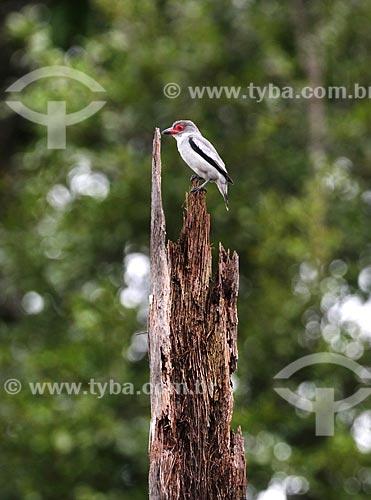 Detalhe de anambé-branco-de-máscara-negra (Tityra semifasciata) na amazônia  - Amazonas (AM) - Brasil