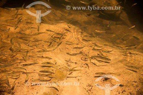 Cardume de lambaris em rio  - Caiapônia - Goiás (GO) - Brasil