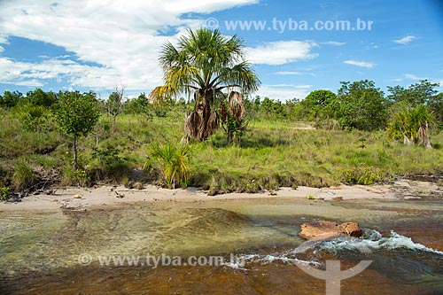 Bacurizeiro (Scheelea phalerata) às margens do Rio Água Limpa  - Caiapônia - Goiás (GO) - Brasil