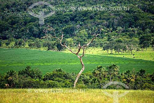 Árvore seca no cerrado com plantação de soja ao fundo  - Caiapônia - Goiás (GO) - Brasil