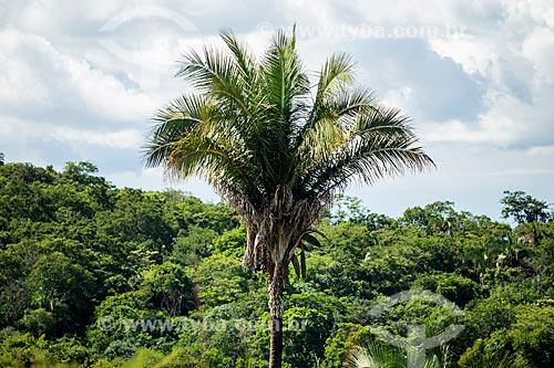 Detalhe de bacurizeiro (Scheelea phalerata) no cerrado  - Baliza - Goiás (GO) - Brasil