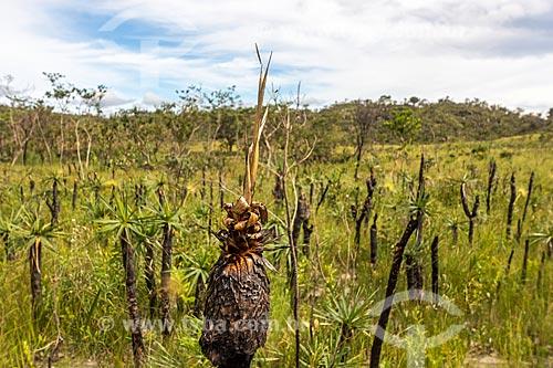 Vegetação típica do cerrado no Parque Nacional da Chapada dos Veadeiros  - Goiás (GO) - Brasil