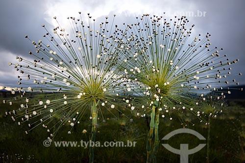 Sempre Viva (Paepalanthus Sp.) - também conhecido como Chuveirinho - no Parque Nacional da Chapada dos Veadeiros  - Goiás (GO) - Brasil