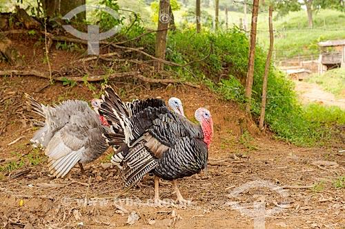 Perus-domésticos (Meleagris gallopavo) em fazenda na zona rural da cidade de Guarani  - Guarani - Minas Gerais (MG) - Brasil