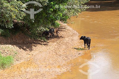 Gado na orla do Rio Pomba - zona rural da cidade de Guarani  - Guarani - Minas Gerais (MG) - Brasil