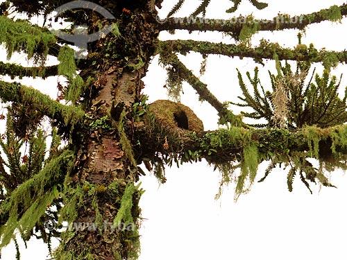 Ninho de João-de-barro (Furnarius rufus) - também conhecido como Forneiro  - São Francisco de Paula - Rio Grande do Sul (RS) - Brasil