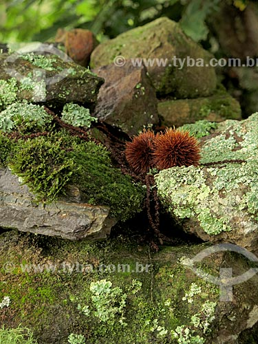 Detalhe de líquens em pedras  - São Francisco de Paula - Rio Grande do Sul (RS) - Brasil