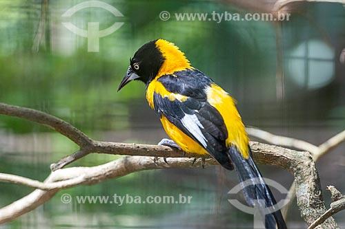 Detalhe de corrupião (Icterus jamacaii) - também conhecido como concriz, joão-pinto ou sofrê - no Parque das Aves  - Foz do Iguaçu - Paraná (PR) - Brasil