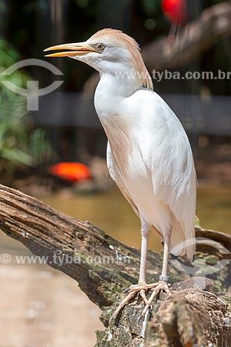 Detalhe de garça-vaqueira (Bubulcus ibis) no Parque das Aves  - Foz do Iguaçu - Paraná (PR) - Brasil