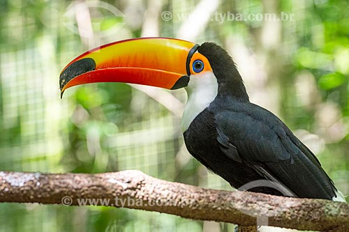 Detalhe de tucano-toco (Ramphastos toco) no Parque das Aves  - Foz do Iguaçu - Paraná (PR) - Brasil