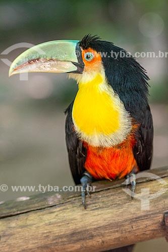 Detalhe de tucano-de-bico-verde (Ramphastos dicolorus) no Parque das Aves  - Foz do Iguaçu - Paraná (PR) - Brasil