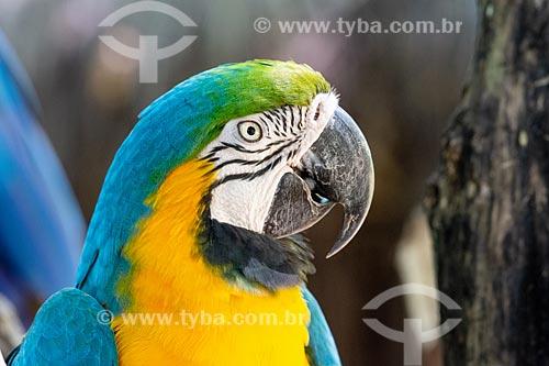 Detalhe de Arara-Canindé (Ara ararauna) - também conhecida como Arara-de-barriga-amarela - no Parque das Aves  - Foz do Iguaçu - Paraná (PR) - Brasil