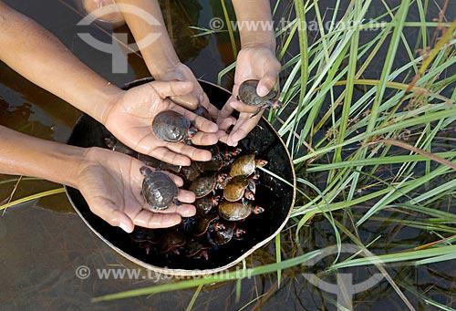 Detalhe de tartarugas Irapuca (Podocnemis erythrocephala) na Reserva de Desenvolvimento Sustentável Puranga Conquista  - Manaus - Amazonas (AM) - Brasil