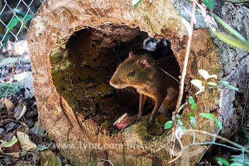 Reintrodução de cutia (Dasyprocta leporina) no Parque Nacional da Tijuca  - Rio de Janeiro - Rio de Janeiro (RJ) - Brasil