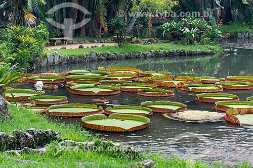 Vitórias-régia (Victoria amazonica) no Lago Frei Leandro - Jardim Botânico do Rio de Janeiro  - Rio de Janeiro - Rio de Janeiro (RJ) - Brasil