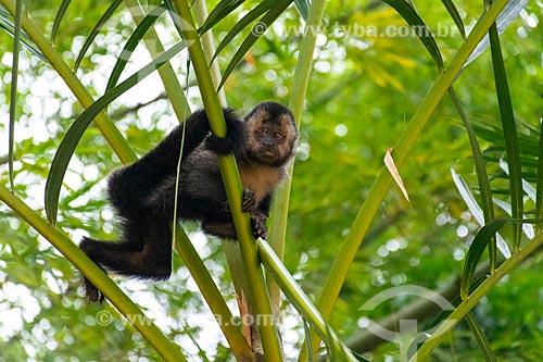 Detalhe de macaco-prego (Sapajus nigritus) no Jardim Botânico do Rio de Janeiro  - Rio de Janeiro - Rio de Janeiro (RJ) - Brasil