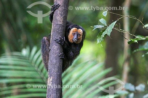 Detalhe de parauacus-da-cara-branca macho (Pithecia chrysocephala) na Floresta Amazônica  - Amazonas (AM) - Brasil