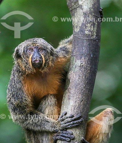 Detalhe de parauacus-da-cara-branca fêmea (Pithecia chrysocephala) na Floresta Amazônica  - Amazonas (AM) - Brasil