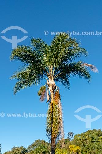 Detalhe de jerivá (Syagrus romanzoffiana) no Parque Tingui  - Curitiba - Paraná (PR) - Brasil