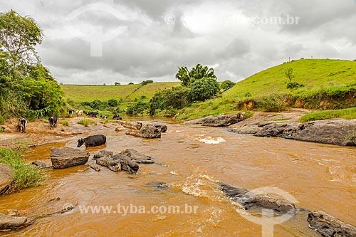 Gado bebendo água dentro do Rio Pomba na zona rural da cidade de Guarani  - Guarani - Minas Gerais (MG) - Brasil