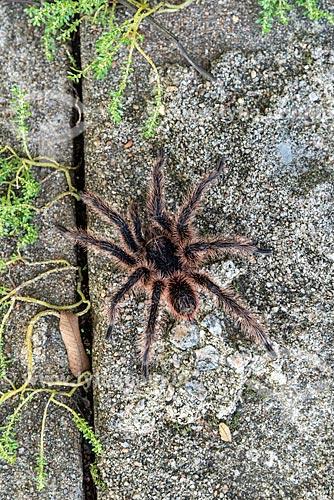 Detalhe de aranha-caranguejeira no Parque Nacional da Tijuca  - Rio de Janeiro - Rio de Janeiro (RJ) - Brasil