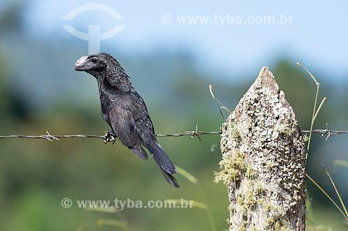 Detalhe de anu-preto (Crotophaga ani) na Serra do Piloto  - Mangaratiba - Rio de Janeiro (RJ) - Brasil