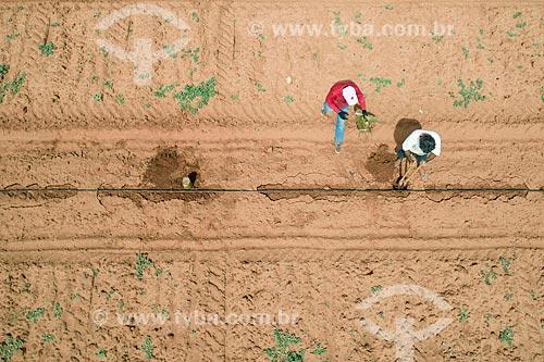 Foto feita com drone de trabalhadores rurais semeando banana em plantação irrigadas com captação em poço artesiano  - Mossoró - Rio Grande do Norte (RN) - Brasil
