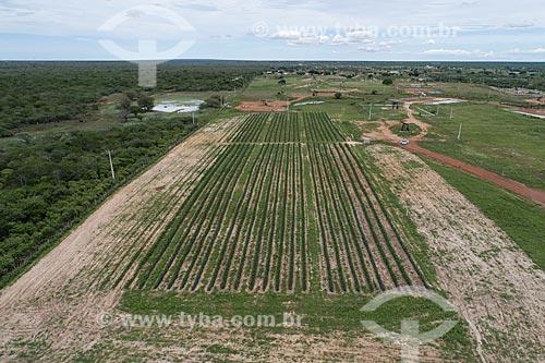 Foto feita com drone de plantação de milho irrigada com gotejamento de poço artesiano  - Macau - Rio Grande do Norte (RN) - Brasil
