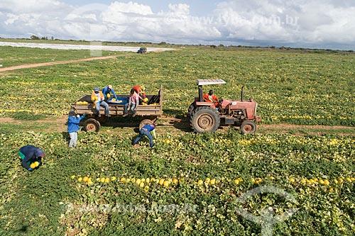 Foto feita com drone de colheita manual de melão (Cucumis melo) irrigadas com captação em poço artesiano  - Mossoró - Rio Grande do Norte (RN) - Brasil
