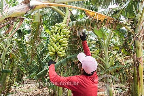 Colheita de banana em plantação irrigada com sistema de gotejamento de poço artesiano  - Mossoró - Rio Grande do Norte (RN) - Brasil