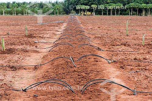 Sistema de gotejamento de poço artesiano em novo pomar de banana  - Mossoró - Rio Grande do Norte (RN) - Brasil