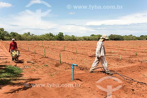 Trabalhadores rurais plantando novo pomar de banana com sistema de gotejamento de poço artesiano  - Mossoró - Rio Grande do Norte (RN) - Brasil