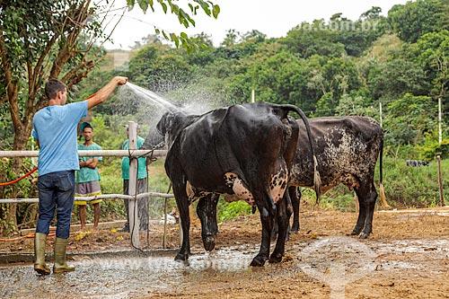 Trabalhadores rurais lavando gado girolando em fazenda na rural da cidade de Guarani  - Guarani - Minas Gerais (MG) - Brasil