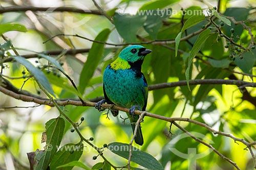 Detalhe de saíra-sete-cores (Tangara seledon) no Parque Estadual dos Três Picos  - Teresópolis - Rio de Janeiro (RJ) - Brasil