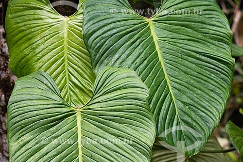 Detalhe de imbé (Philodendron imbe) na Área de Proteção Ambiental da Serrinha do Alambari  - Resende - Rio de Janeiro (RJ) - Brasil