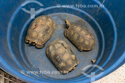 Detalhe de jabutis-piranga (Chelonoidis carbonaria) no Centro de Triagem de Animais Silvestres (CETAS) da Floresta Nacional Mário Xavier  - Seropédica - Rio de Janeiro (RJ) - Brasil