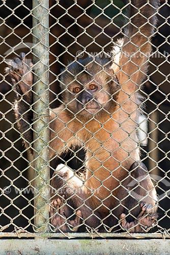 Detalhe de macaco-prego (Sapajus nigritus) no Centro de Triagem de Animais Silvestres (CETAS) da Floresta Nacional Mário Xavier  - Seropédica - Rio de Janeiro (RJ) - Brasil