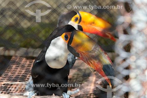 Tucano-toco (Ramphastos toco) no Centro de Triagem de Animais Silvestres (CETAS) da Floresta Nacional Mário Xavier  - Seropédica - Rio de Janeiro (RJ) - Brasil