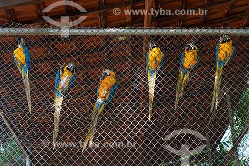 Araras-Canindé (Ara ararauna) - também conhecida como Arara-de-barriga-amarela - no Centro de Triagem de Animais Silvestres (CETAS) da Floresta Nacional Mário Xavier  - Seropédica - Rio de Janeiro (RJ) - Brasil
