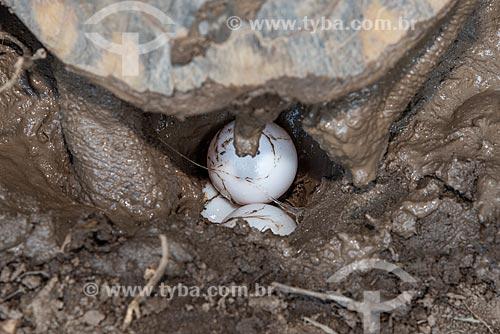 Detalhe de jabuti-piranga (Chelonoidis carbonaria) pondo ovo no Centro de Triagem de Animais Silvestres (CETAS) da Floresta Nacional Mário Xavier  - Seropédica - Rio de Janeiro (RJ) - Brasil