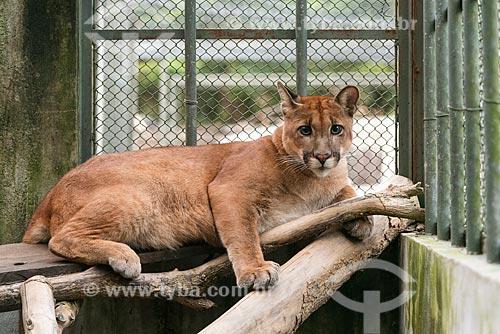 Detalhe de onça-parda (Puma concolor) - também conhecida como suçuarana - no Centro de Triagem de Animais Silvestres (CETAS) da Floresta Nacional Mário Xavier  - Seropédica - Rio de Janeiro (RJ) - Brasil