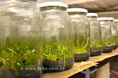 Detalhe de produção de orquídeas in vitro  - São José do Rio Preto - São Paulo (SP) - Brasil